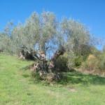 """La """"terra degli ulivi"""""""